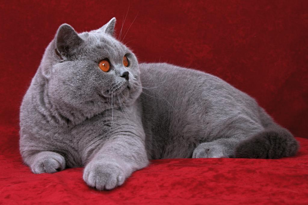 подробнее плюшевые кошки порода фото удалось совместить