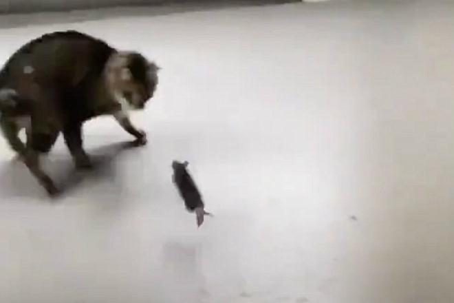 Наглая мышь превратила день кота в настоящий кошмар