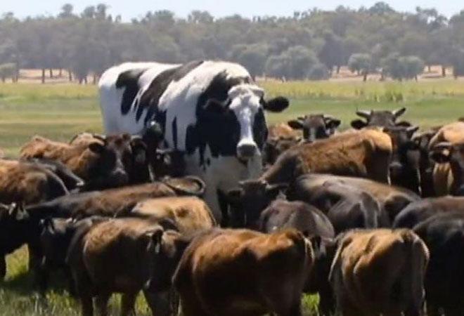 Огромный бык из Австралии далеко не самый большой в мире