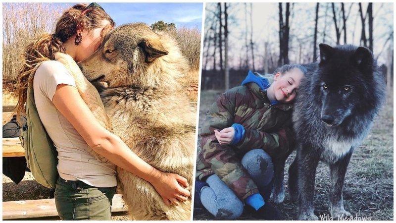 Волкособы: отличные питомцы для тех, кому мало обычных собак