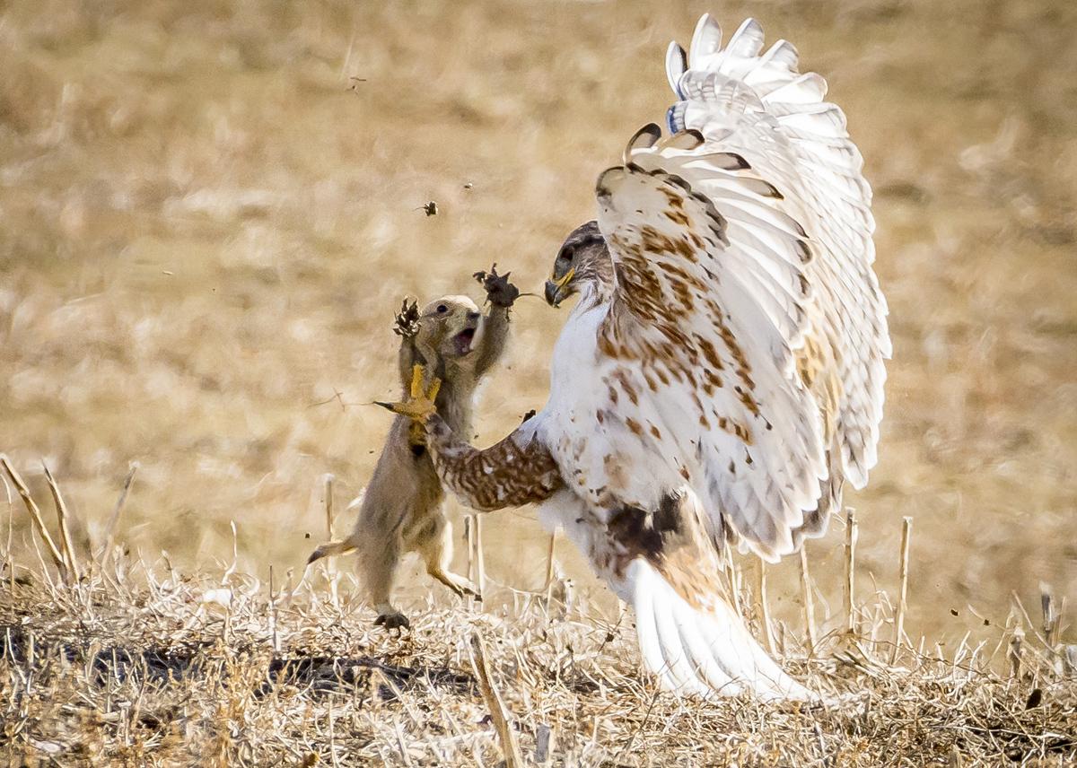 такого дорогого хищные птицы на охоте фото новых друзей