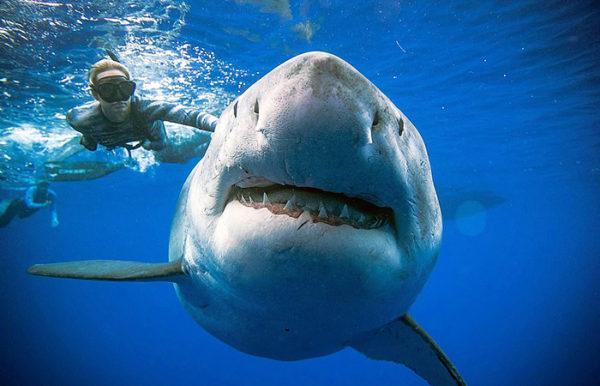 Cамую большую акулу в мире сфотографировали с человеком
