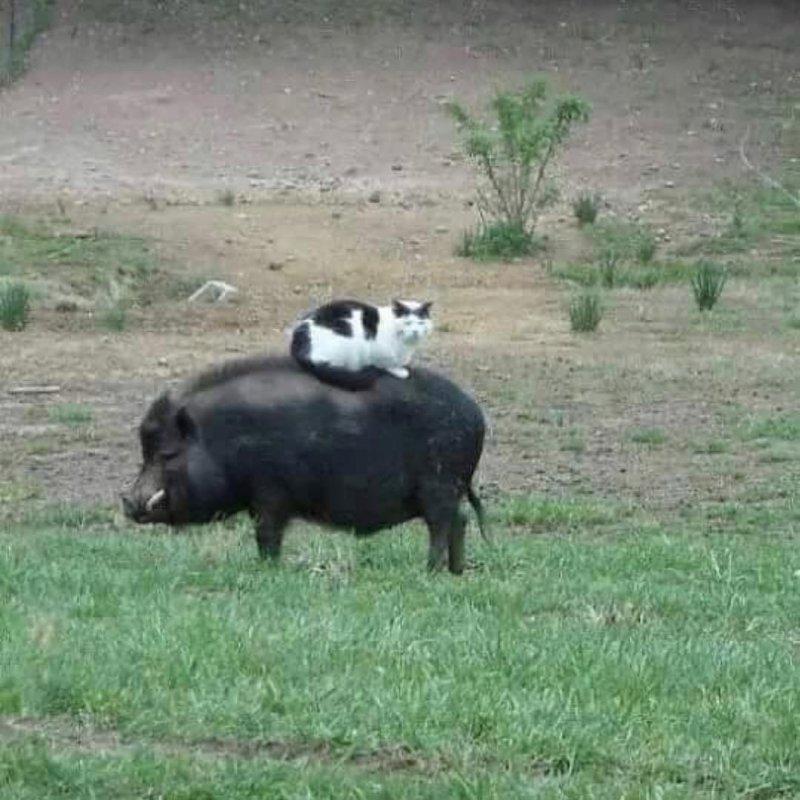 1. Коты всегда найдут мягкое местечко большая черепаха, животные, покатай меня, прикол, смешно, фото