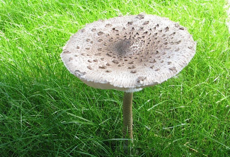 Как приготовить грибы «Зонти…