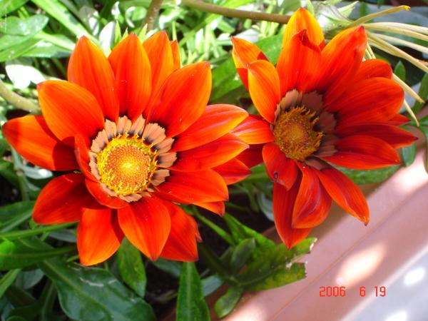 Лечебная цветотерапия на даче: оранжевые цветы