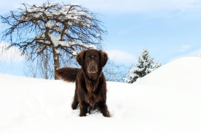 Рейтинг самых умных пород собак: прямошерстный ретривер. Фото