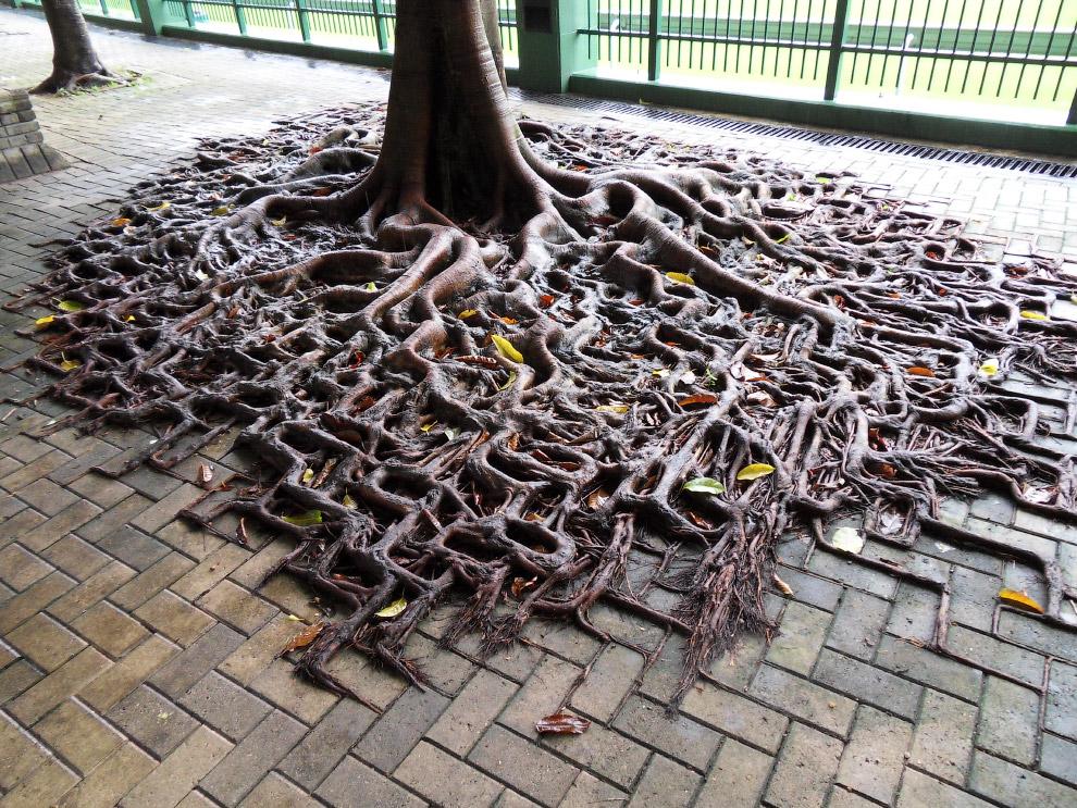 Корни дерева над тротуаром