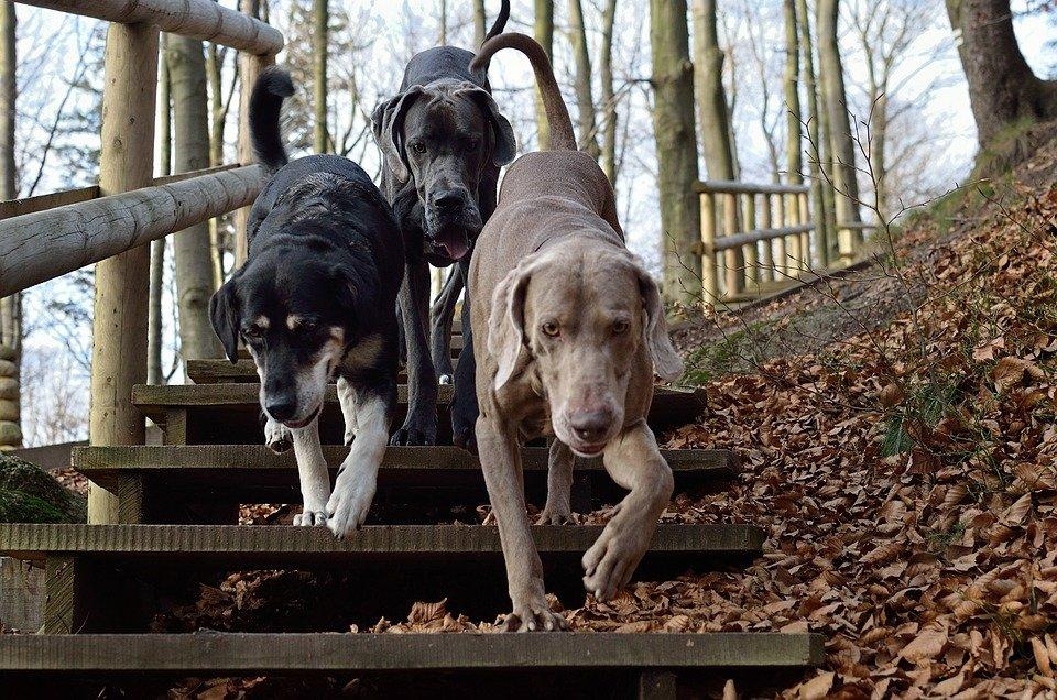 Три эстонские собаки сбежали…