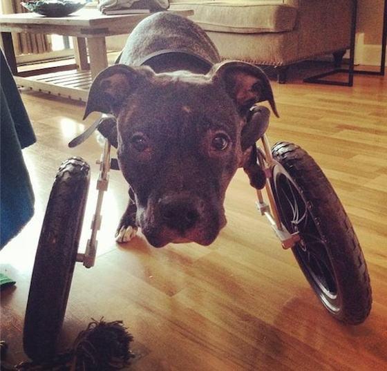 Щенок питбуля был спасен за минуту до усыпления, обрел семью и помогает собирать средства для бедствующих собак