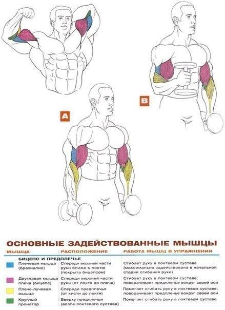Упражнения на развитие мышц …