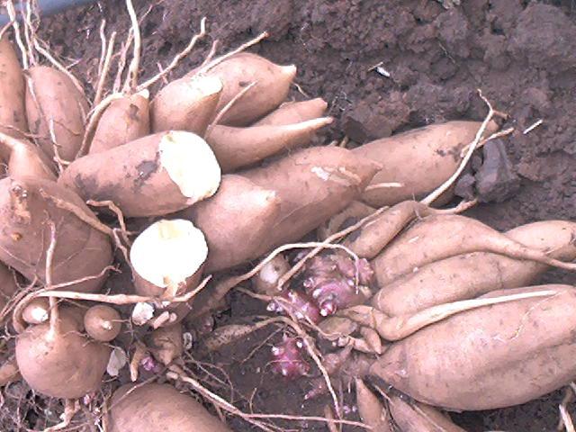 Якон или диетический картофель