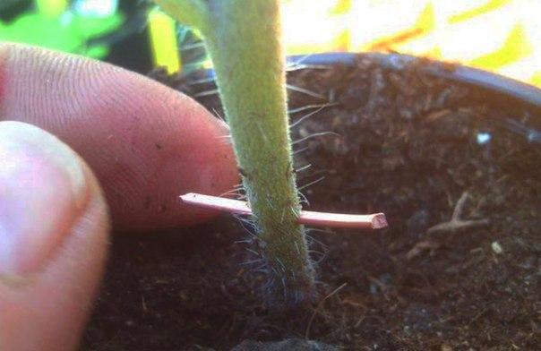 Фитофтора на помидорах лечит…