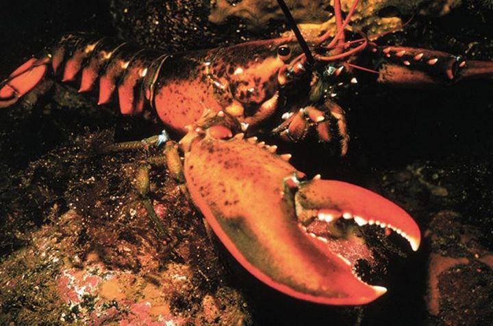 6. Американский омар вечность, животные, растения