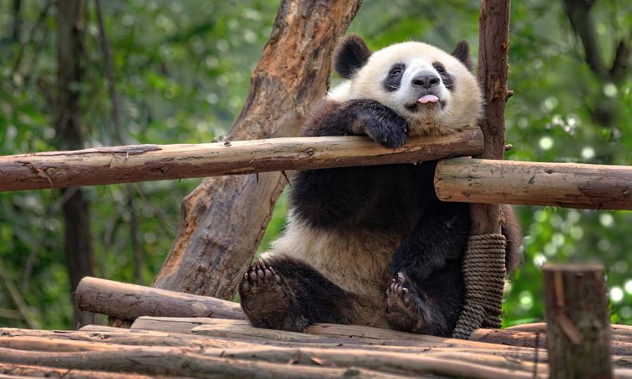 Панда прикол картинка
