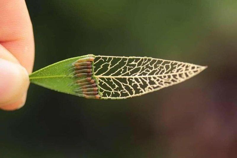 10. Гусенички обгладывают листочек (массовый кусь) в мире, животные, красота, природа, удивительно, фото