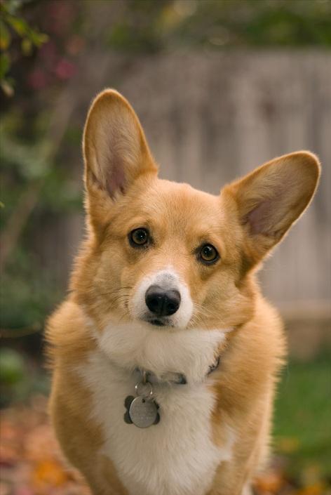 порода собак вельш-корги (пемброк). фото