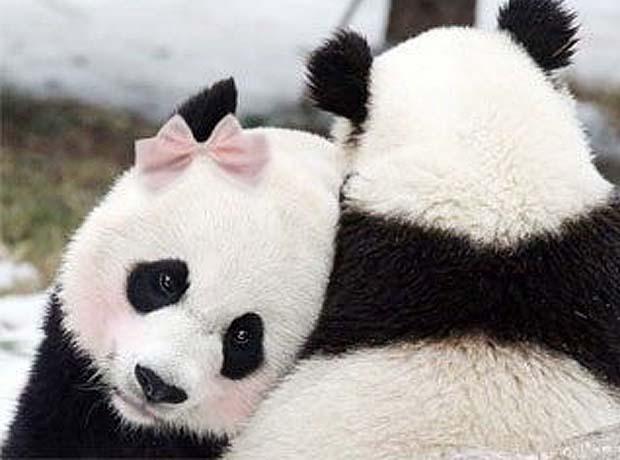 Даже панды умеют любить