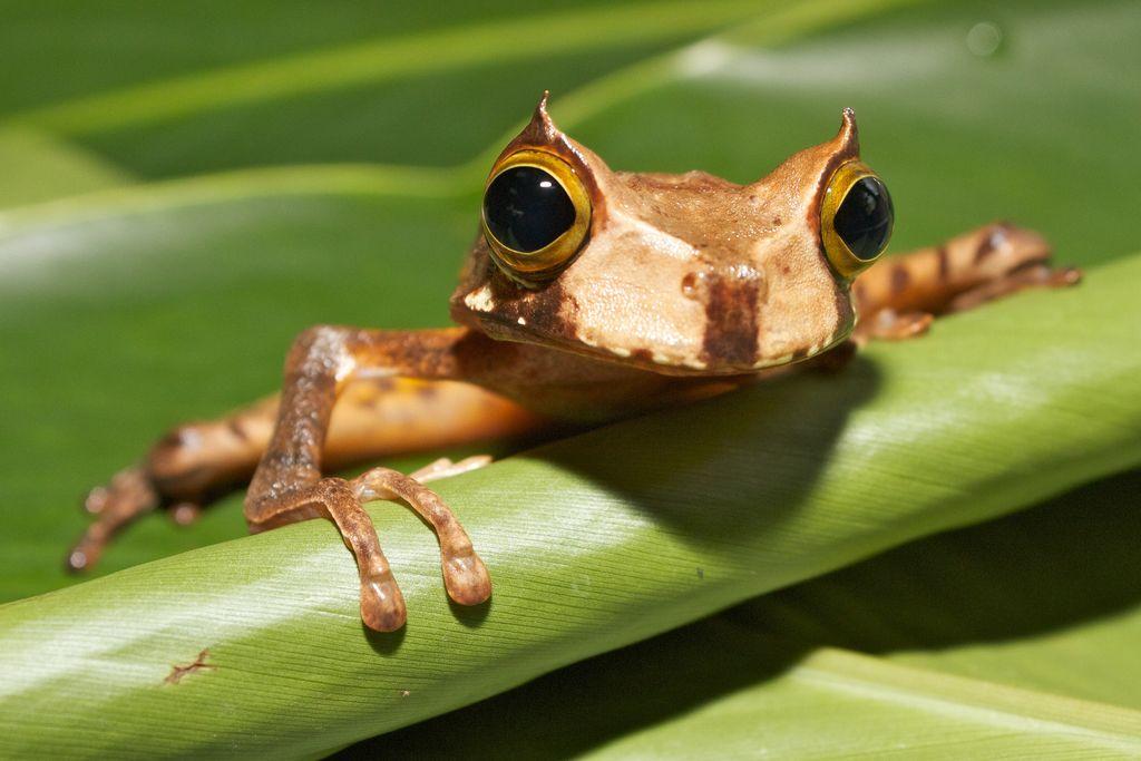Считавшаяся вымершей рогатая сумчатая квакша снова обнаружена в лесах эквадора…