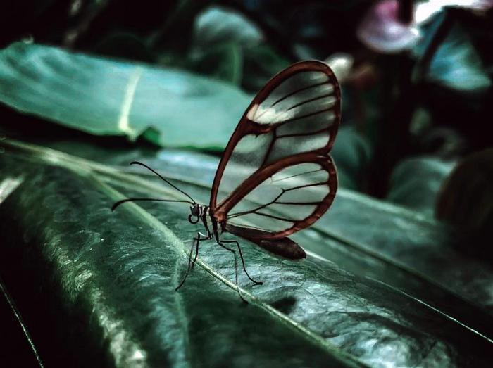 Бабочка Грета с прозрачными крыльями.