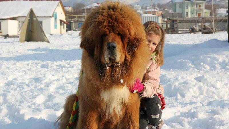 Снежные львы из Тибета