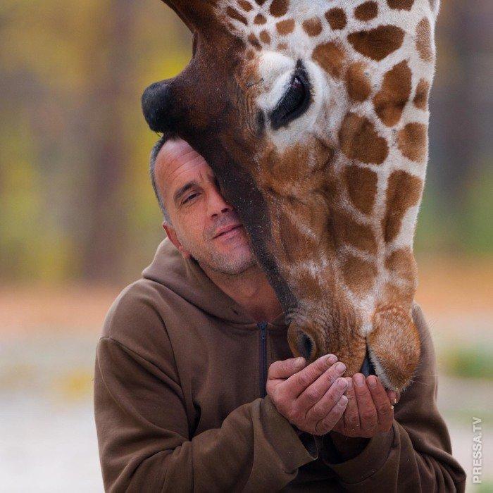 Смотритель зоопарка дружит с жирафами