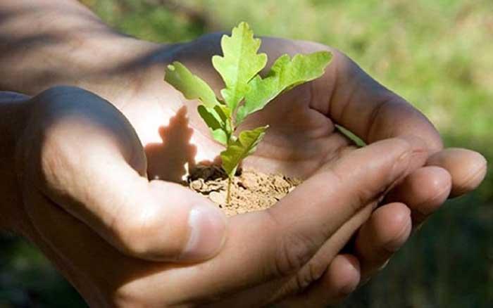 Как вырастить дуб из желудя. Советы садоводам