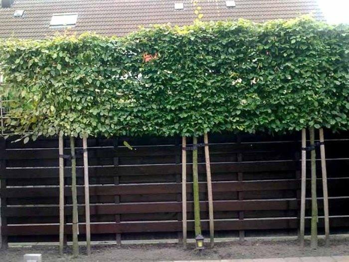 Сплошной забор с зелёной верхушкой - идеальный вариант для тех, кто хочет скрыться от назойливых соседей.