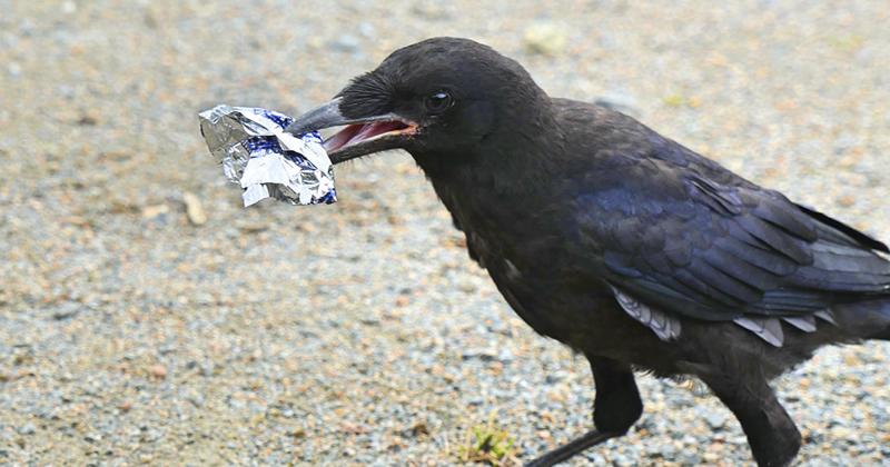 На птичьих правах: в одном из парков Франции трудятся грачи