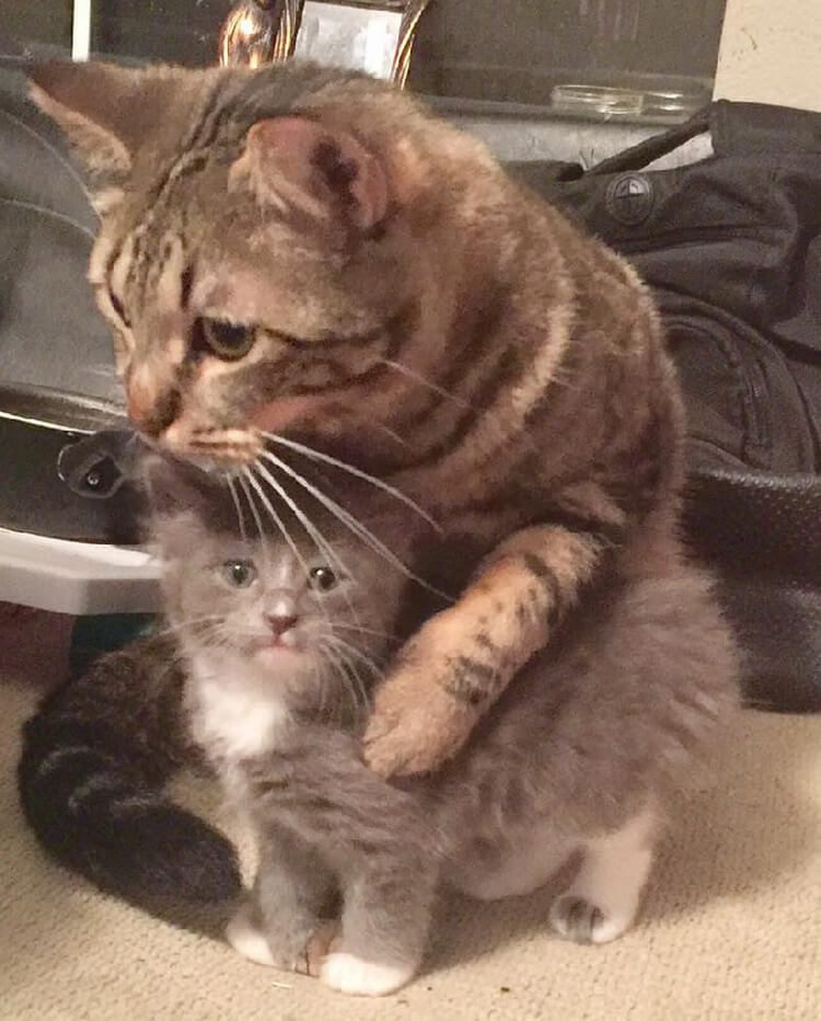 Домашний кот, который поддерживает котёнка-сироту