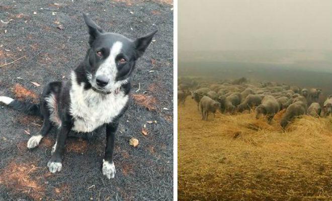 Собака собрала овец и вела их несколько часов. Люди удивились, а потом увидели лесной пожар Культура