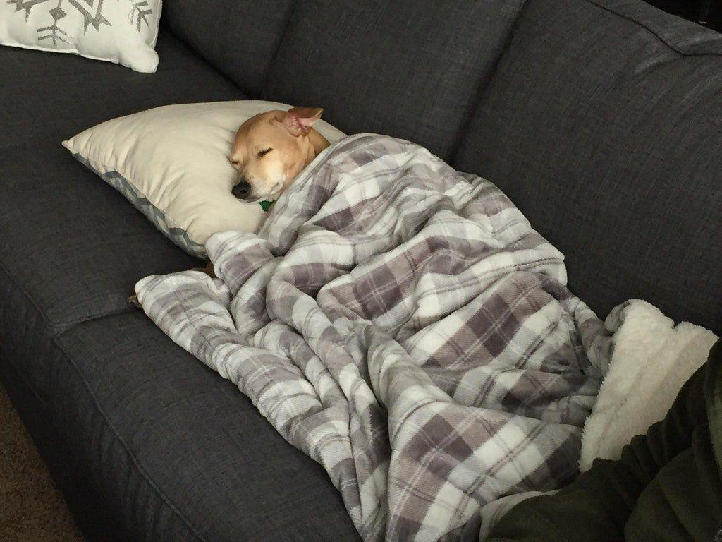 собака под одеялом картинка