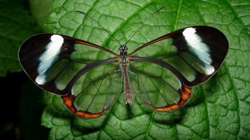 21. Бабочка с прозрачными крыльями. планета земля, удивительные фотографии, человек