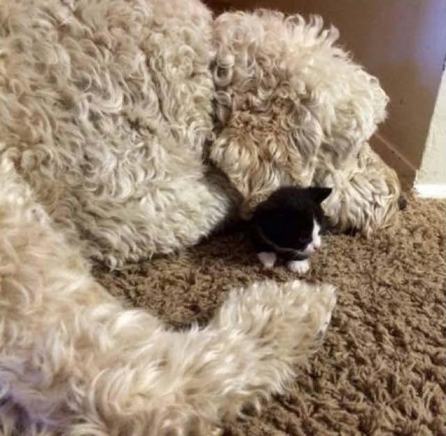 Женщина нашла на улице крошечного котенка и решила показать его своим псам. И вот, что из этого вышло