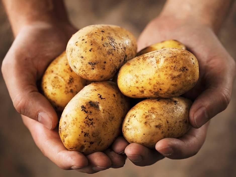 Как с 1 кг я получил 20 кг картофеля