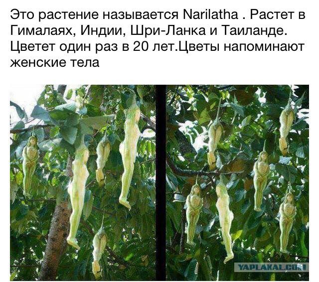 narilatha растение фото