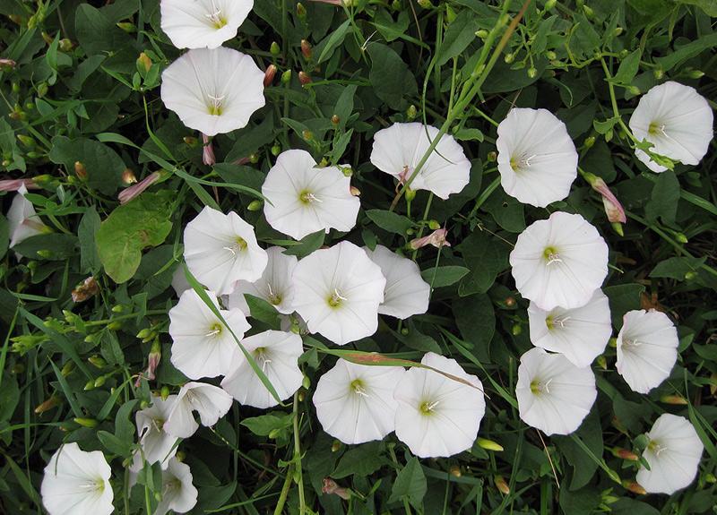 10 растений, которые лучше обходить стороной может, воспаление, достаточно, пыльцы, дыхание, слезоточивость, особо, больших, дозах, контакте, конъюнктивитБорщевикПри, растением, попадании, вызвает, сильное, долго, заживающие, затрудненное, Дикие, ожоги