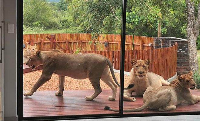 Семья из ЮАР приехала на дачу и обнаружила, что на их участке поселился прайд львов Культура
