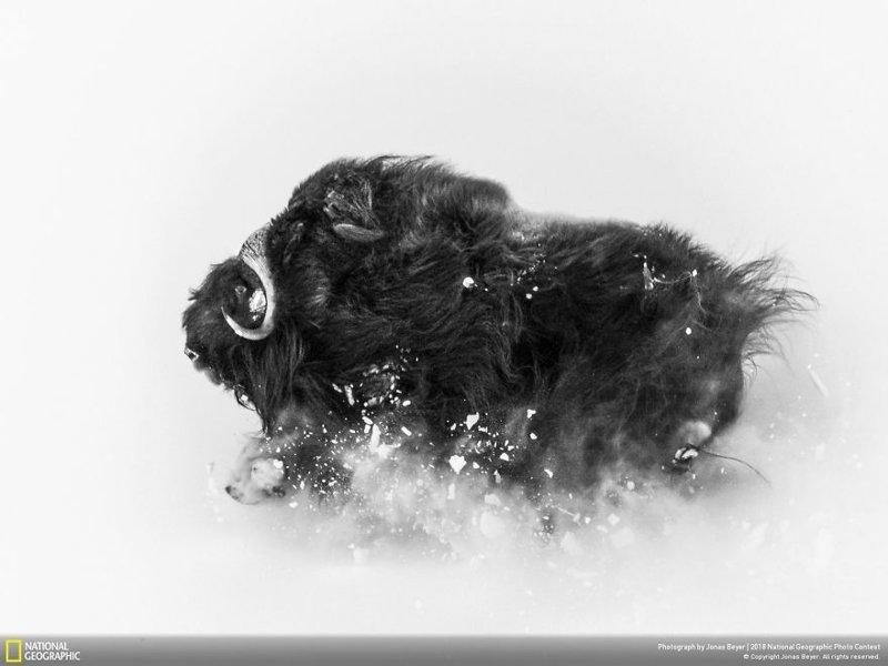 """Глубокий снег, Йонас Беер - второе место, категория """"Дикая природа"""" national geographic, конкурс, красота, природа, удивительно, фото, фотография, фотоподборка"""