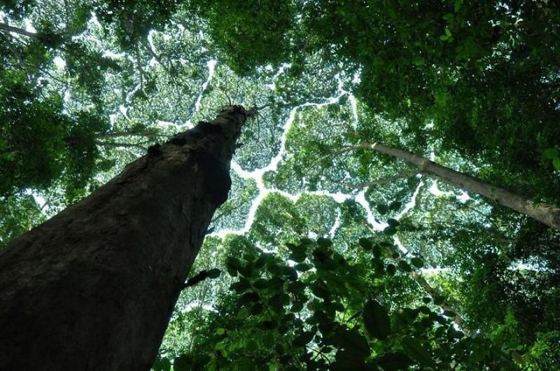 «Застенчивые кроны» деревьев