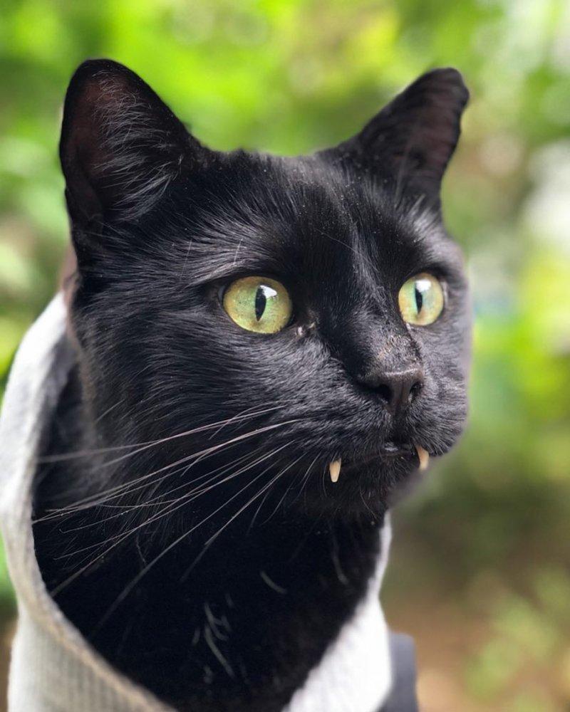 Пользователи сети не верили, что фото этого котика - не фотомонтаж instagram, клыки, кот, кот с клыками, кошка
