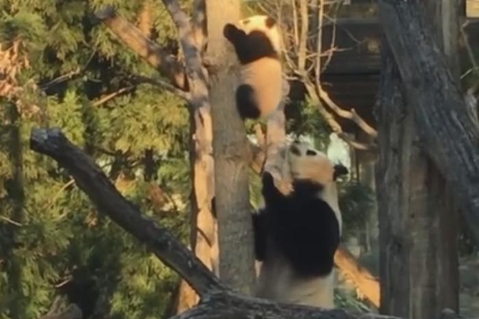 Мама панда заставляет своего…
