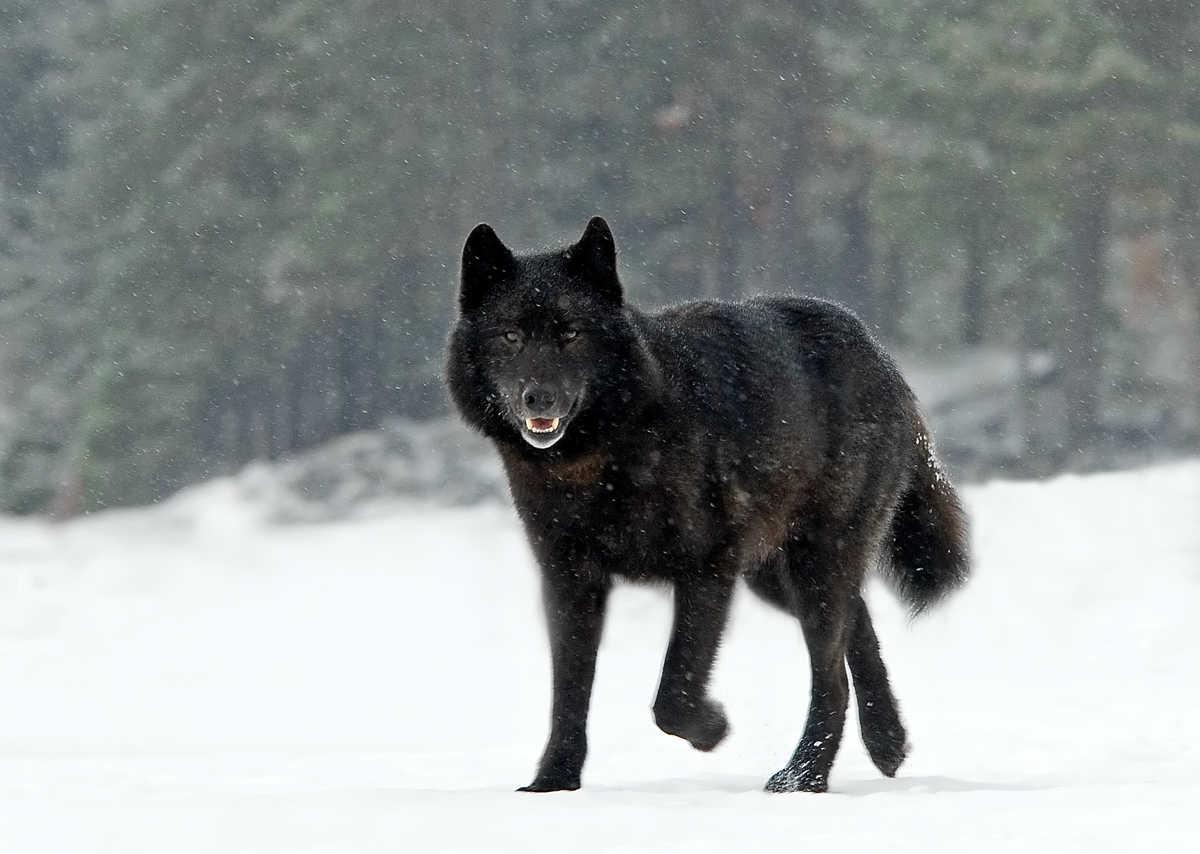 смотреть фотографии черного волка красивые прически длинные