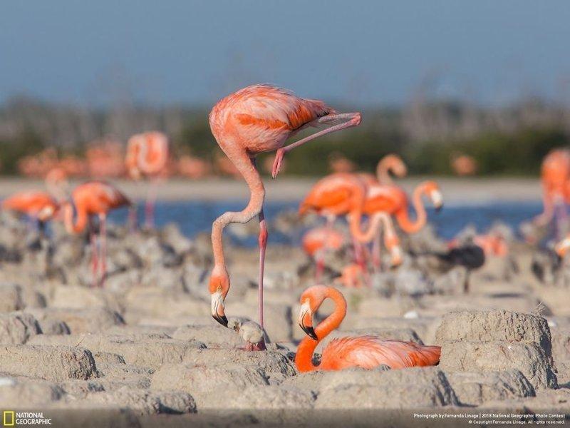 """Фламенко в стиле """"фламинго"""", Фернанда Линаж national geographic, конкурс, красота, природа, удивительно, фото, фотография, фотоподборка"""
