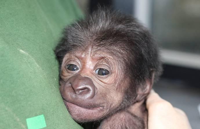 В Бристоле с помощью кесарева сечения помогли родиться детенышу гориллы