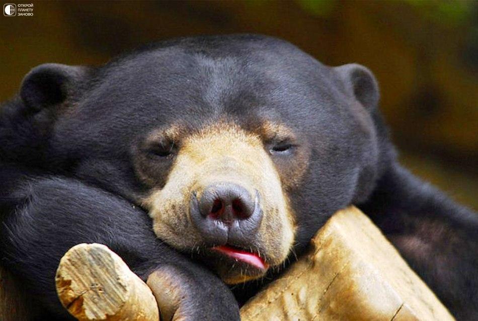 Малайский медведь или медведь-собака