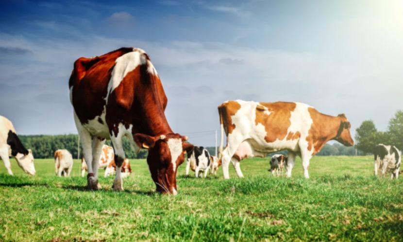 Ученые: отказ от говядины, м…