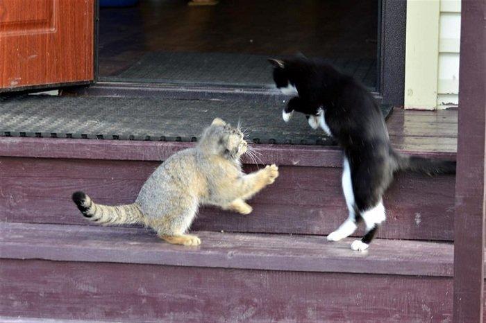 Мануленок Дарья заповедник, кошки, манул