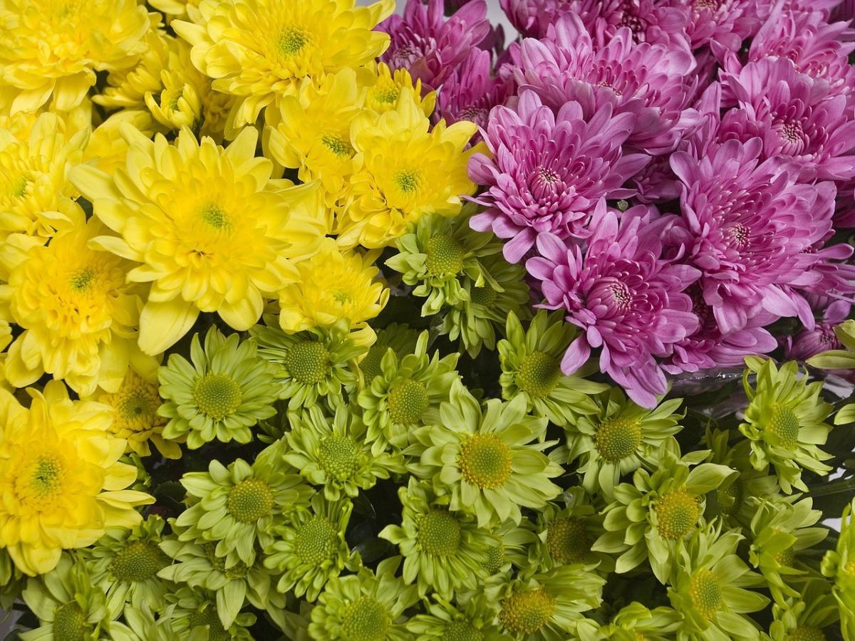 Хризантемы: посадка, выращивание, уход. Корейские сорта хризантем