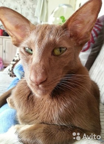 Реальное объявление с Авито: Продам или отдам кота-сатану