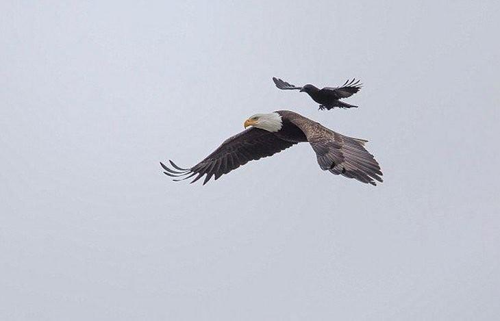 Ворон немного отдохнул на спине орла во время полета))